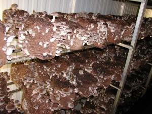Growing Shiitakes 300x225 Shiitake Mushrooms